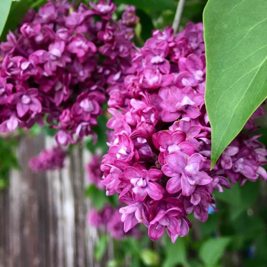 Lilac with double flowers