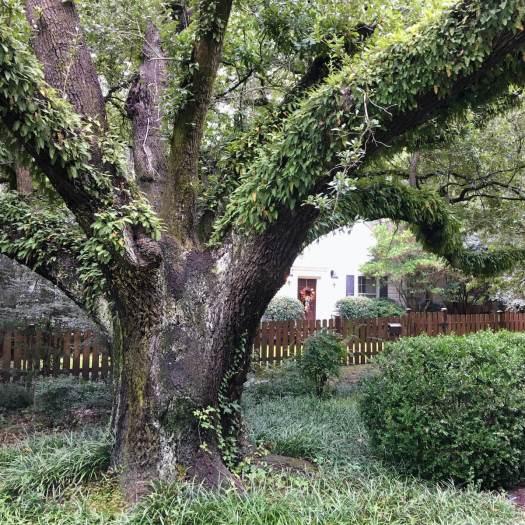 Live Oak covered in ferns