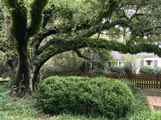 Live Oak with epiphytes in Jackson, MS