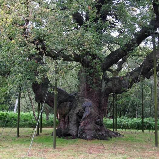 Major Oak, Sherwood Forest, with supports