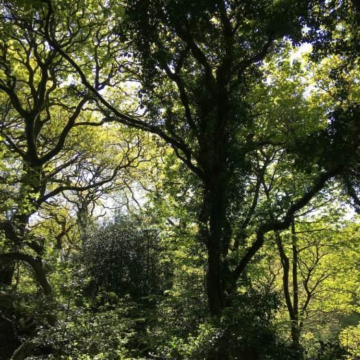 Tree canopies, May, Sunnyhurst Wood, Darwen