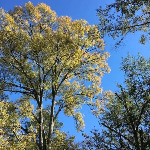 November tree canopies, Jackson, MS