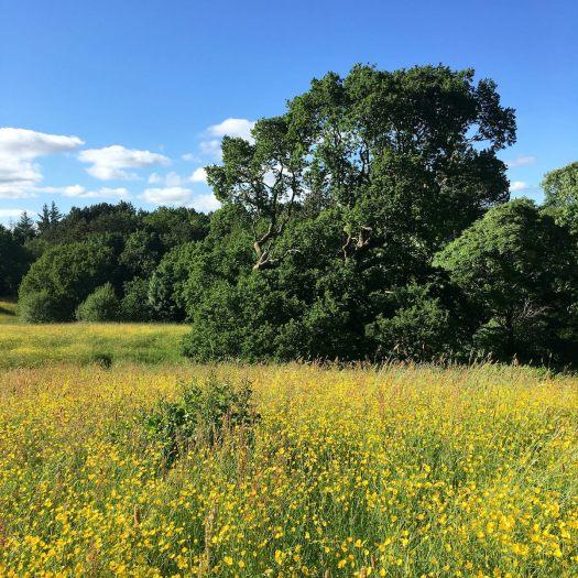 Oak on the edge of a buttercup meadow