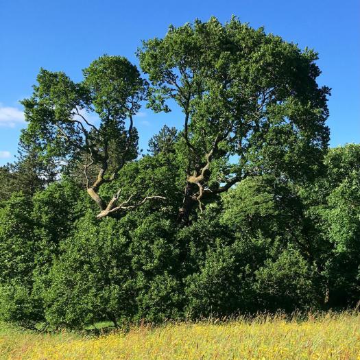 Oak in June