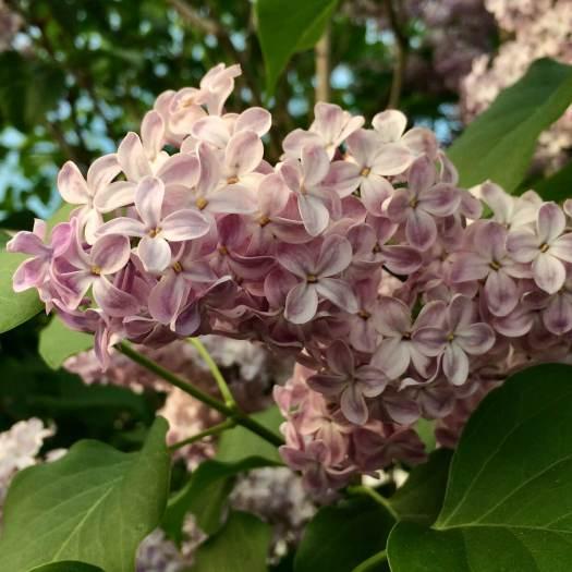 Pale lilac flower