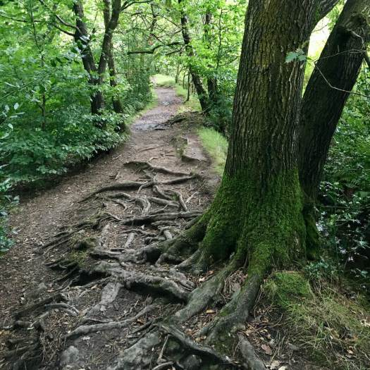 Woodland path laced with tree roots