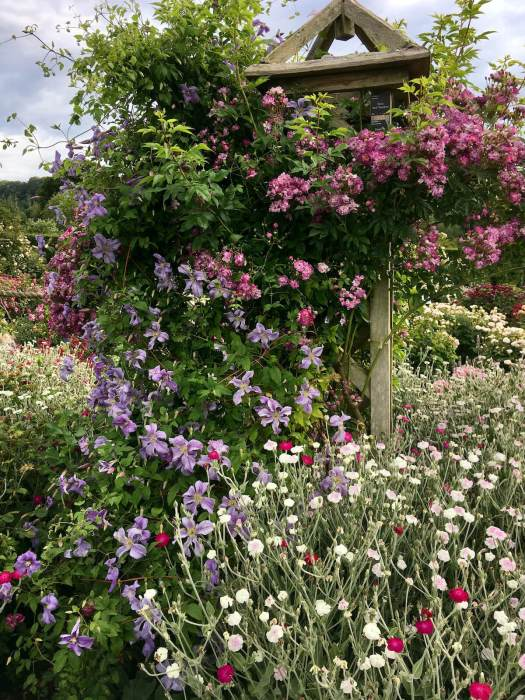 Rambling rose and clematis on a wooden obelisk in a flower garden