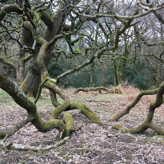 Oak tree propped up by a rooted branch