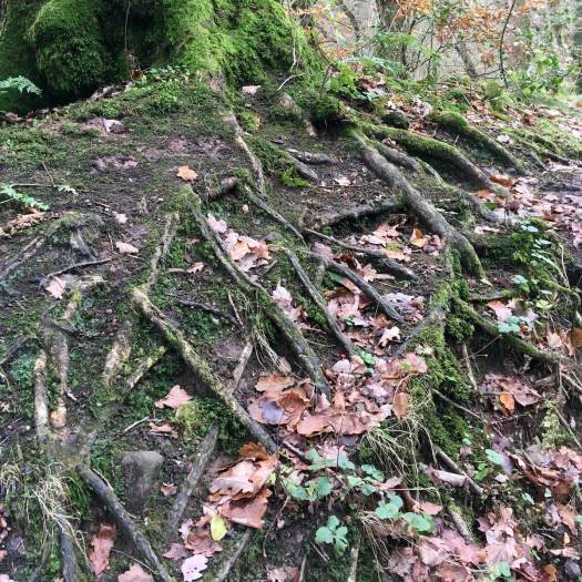 Tree roots left bare by erosion