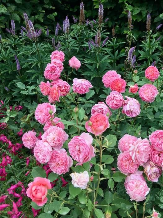 Rosa 'Boscobel' with Veronicastrum virginicum and penstemon
