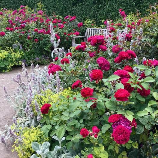Rosa 'Darcey Bussell' with Alchemilla mollis and Stachys byzantina