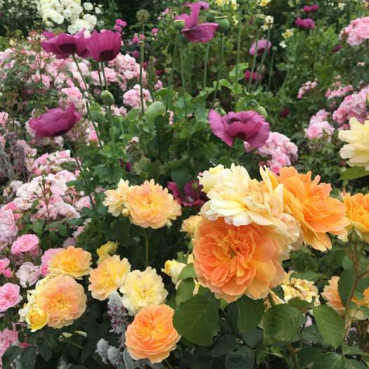 Rosa Molineux with poppies