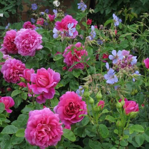 Companion plants: Rosa 'Princess Anne' with Geranium 'Mrs Kendall Clark'
