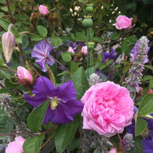 Rose with Clematis, lamb's ear and poppy seed heads