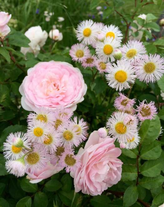 Companion plants: rose with erigeron
