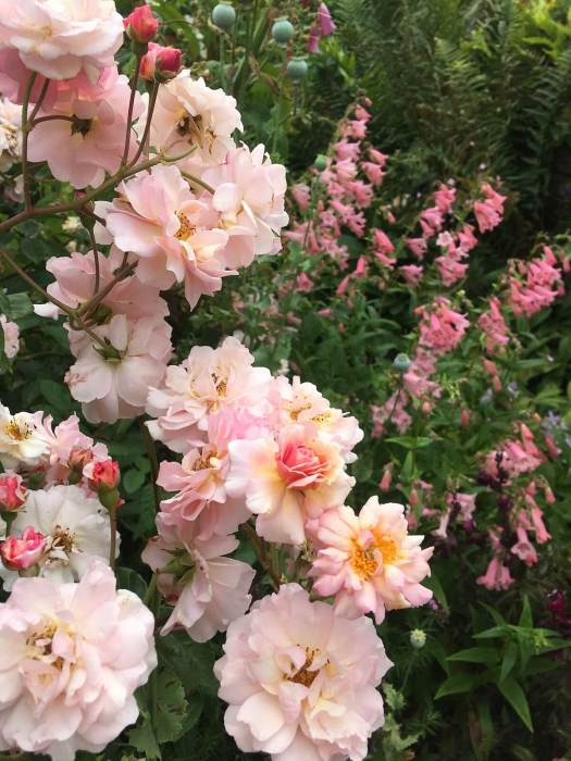 Peachy-apricot roses with penstemons