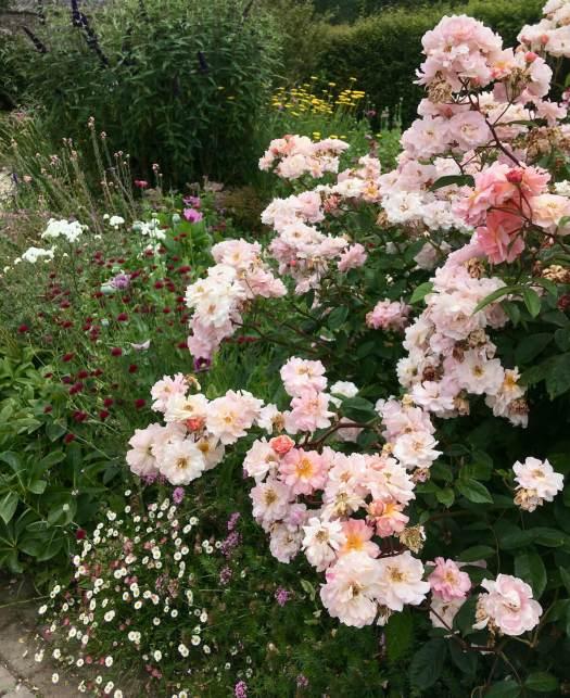 Roses with perennials including Erigeron and Knautia