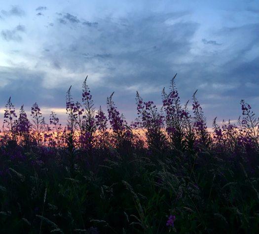Rosebay willowherb silhouetted at dusk