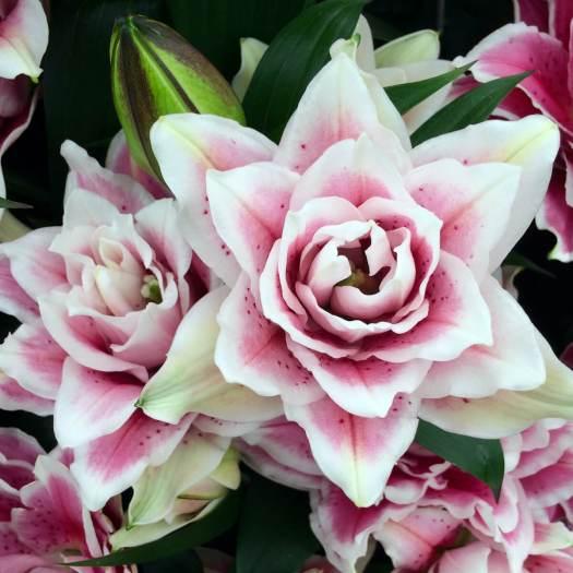 Lilium 'Roselily Samantha'