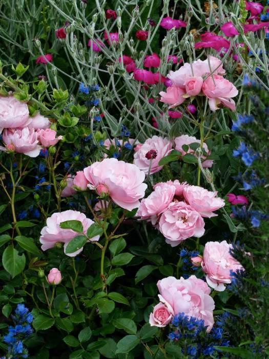 Pink roses with Lychnis coronaria and Echium vulgare
