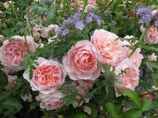 Roses with Phacelia tanacetifolia
