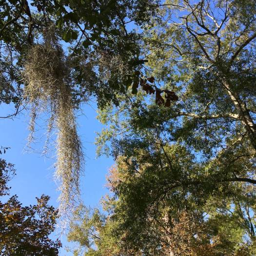 Spanish moss hanging from a tree