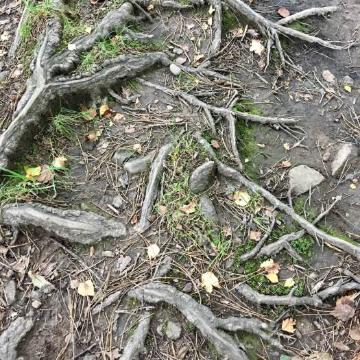 Tree roots above ground