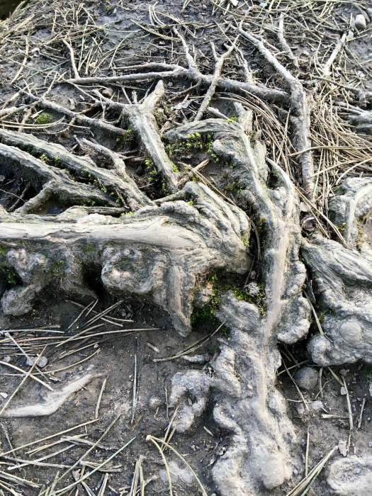 Worn surface roots on a path