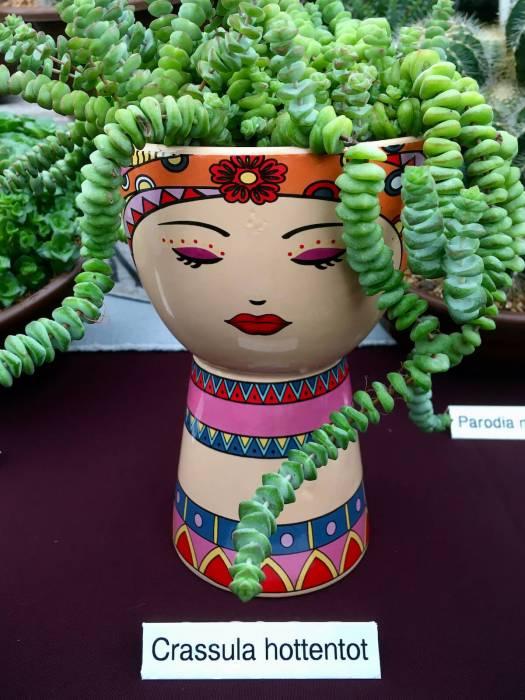 Crassula hottentot in a porcelain lady pot