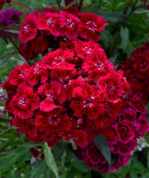 Dianthus barbatus red - Sweet William