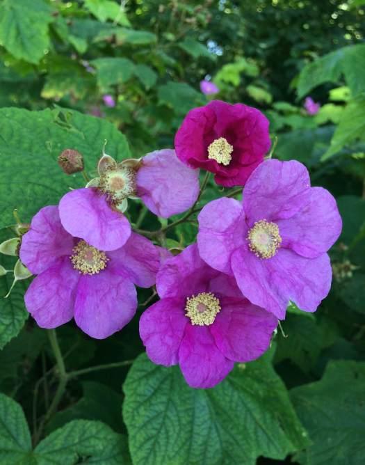 Rubus odoratus: purple flowering raspberry