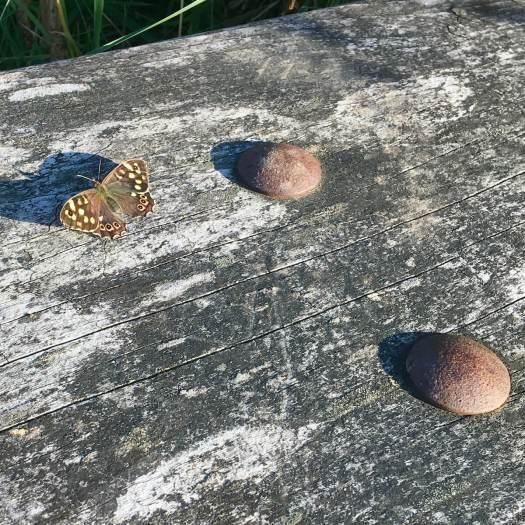 Butterfly sunbathing on a moorland bench