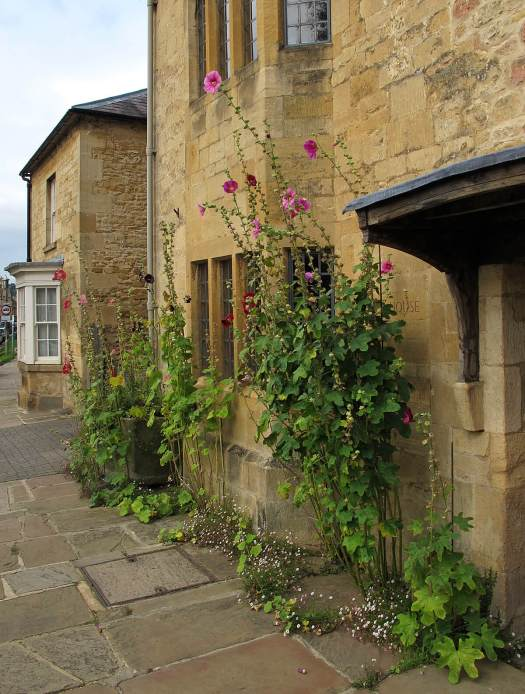 Tall hollyhocks growing in a pavement outside a Cotswold house