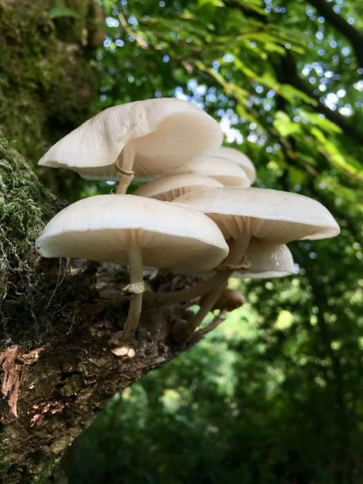 Pale mushrooms on a beech tree