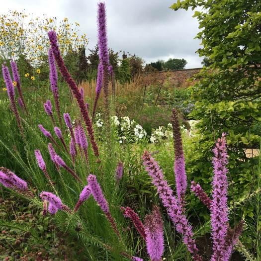 Liatris flower border in a walled garden