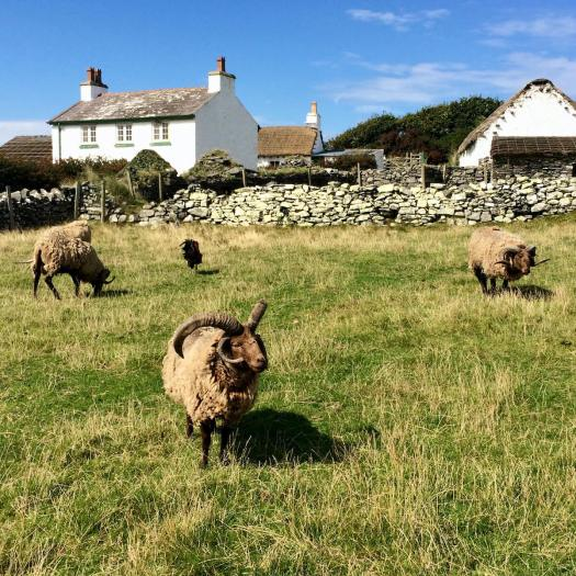 Sheep with four horns and brown faces on the Isle of Man