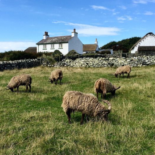 Manx Loaghtan sheep grazing on a croft preserved at Cregneash village