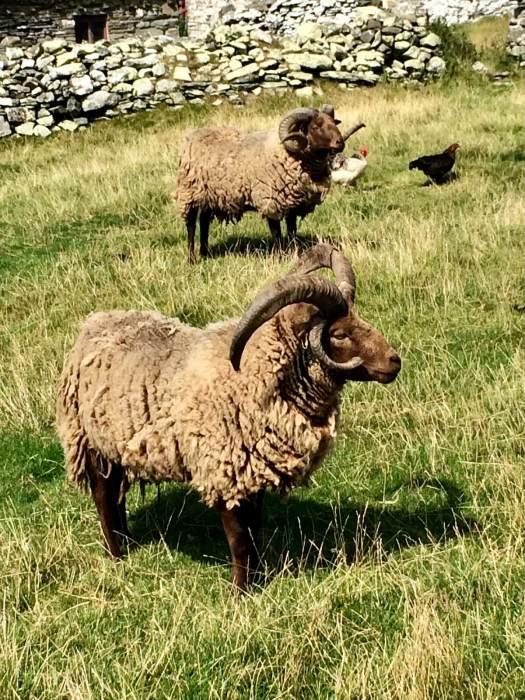 Manx Loaghtan sheep with four horns