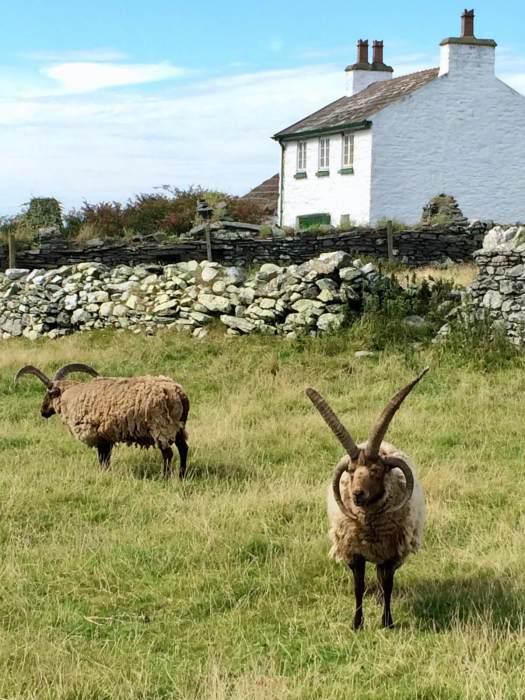Manx Loaghtan with tall horns