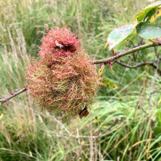 Mossy rose gall (Rose bedeguar gall)